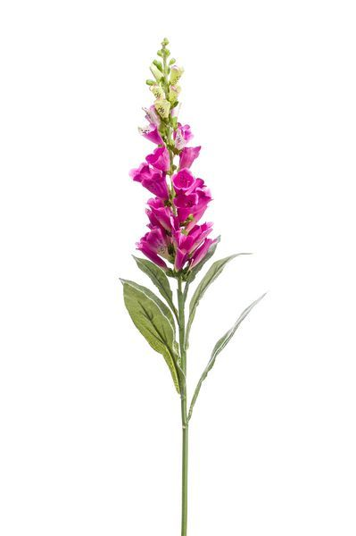 Digitalis Fuchsia