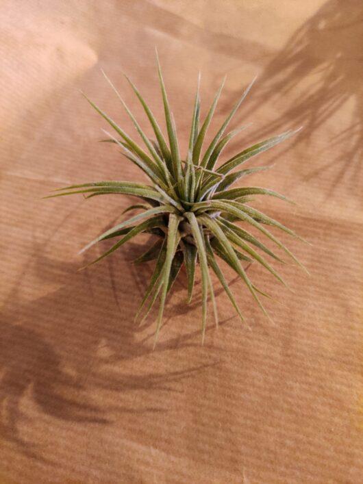 Tillandsia ionantha medium