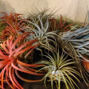 Mix tillandsia