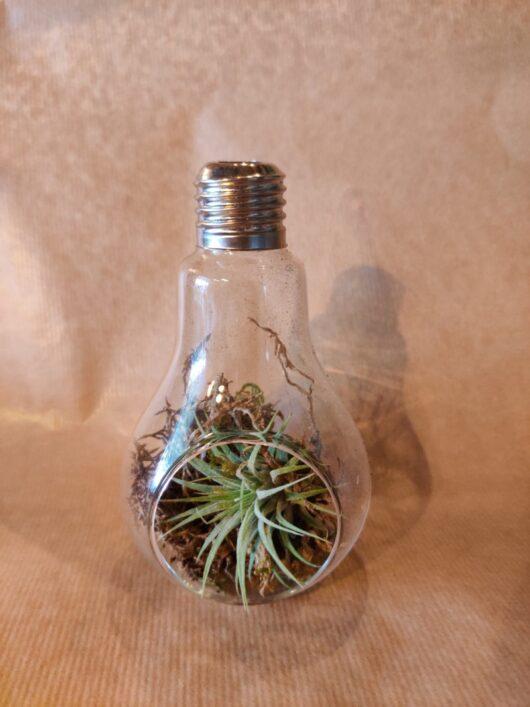 Lampje met luchtplantje