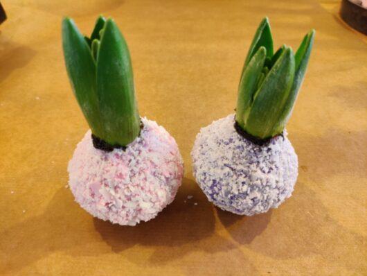 wax hyacint