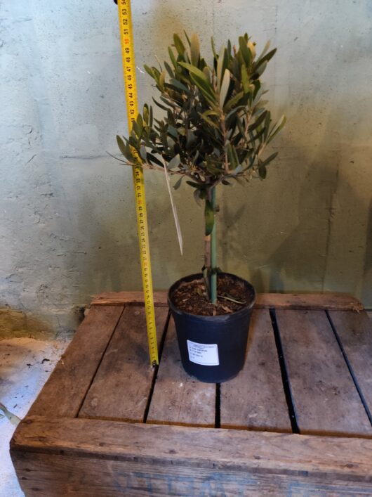 olijfboom 50 cm