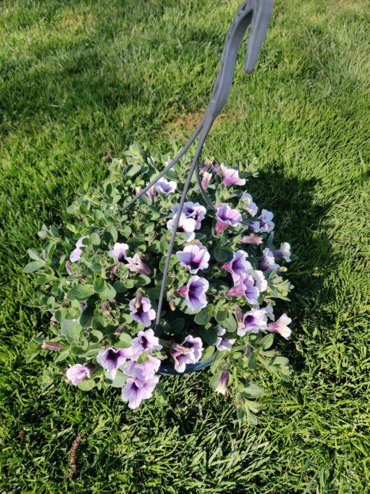 petunia lila