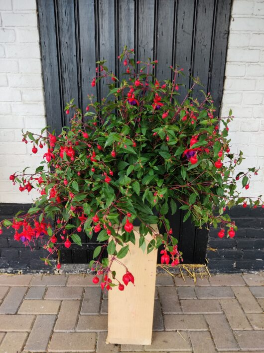 Hang Fuchsia